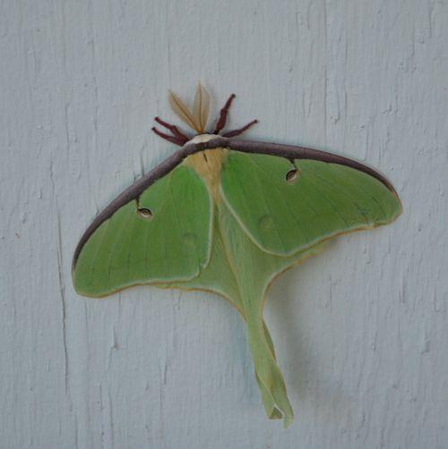 Penn OMG a real live luna moth !!!